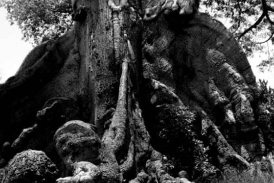 Ceiba trunk 1