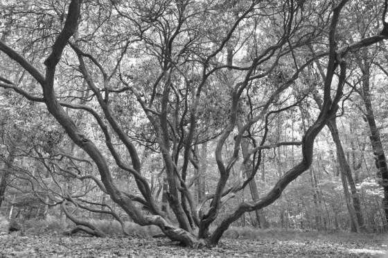 Great laurel tree
