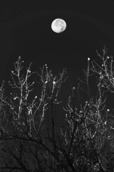 Moonlit trees