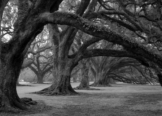 Oak alley