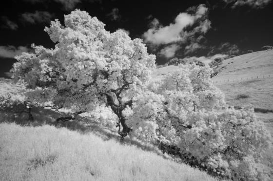 Wild oaks