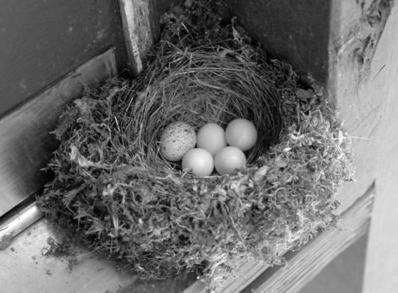 Cowbird egg in phoebe nest