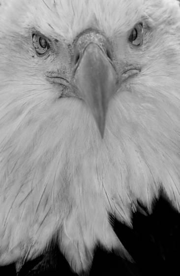 Bi eagle