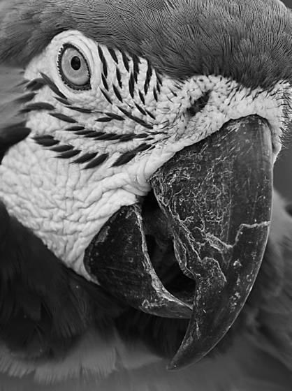 Bi macaw