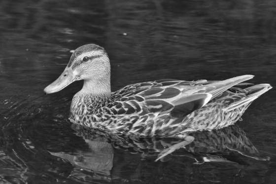 Duck reflection