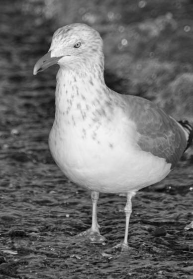 Seagull wading