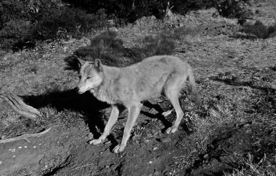 Cwc alaskan wolf 2