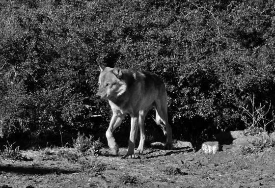 Cwc alaskan wolf 3