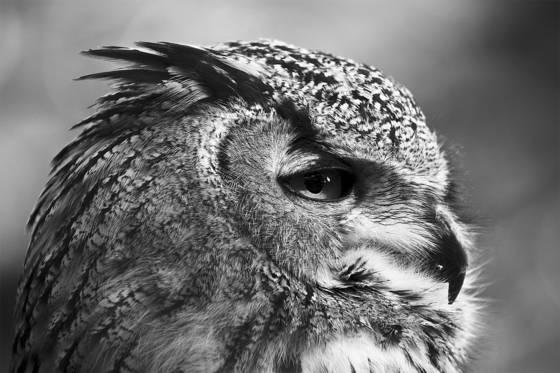 Asiatic eagle owl