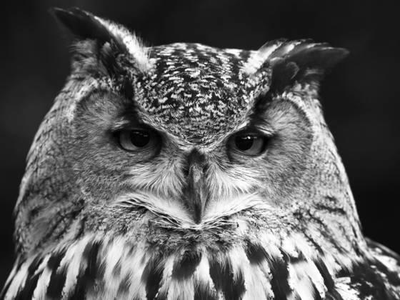 Euro asiatic eagle owl