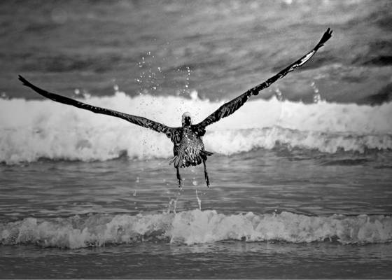 Pelican ascending