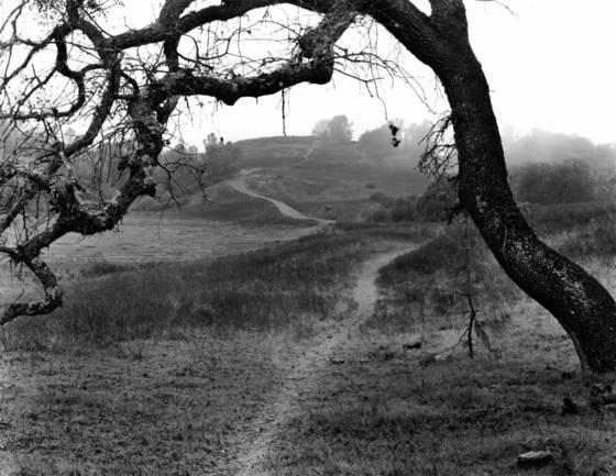 Oak and fog