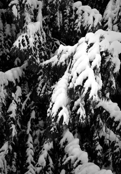 Snowy cedar