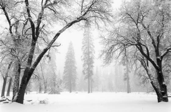 Arching oaks in winter