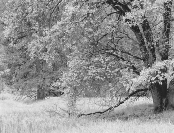 Black oak branches
