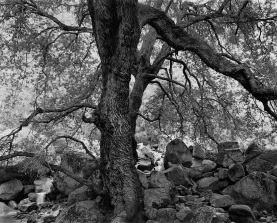 Cascad creek oak