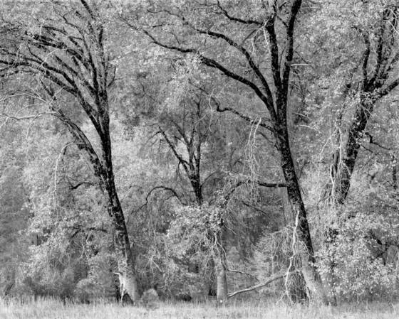 Dancing oaks