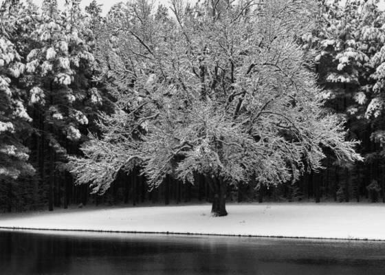 Apple tree in snow