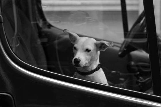 Parisian dog