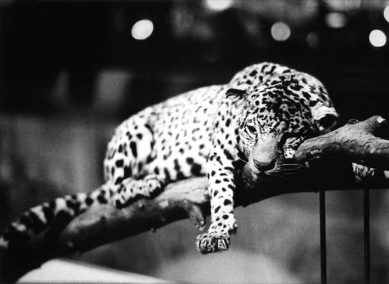 Leopard in paris