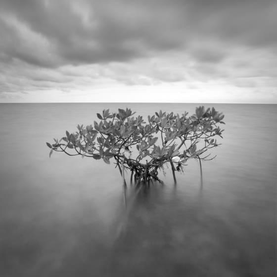 Red mangrove 10