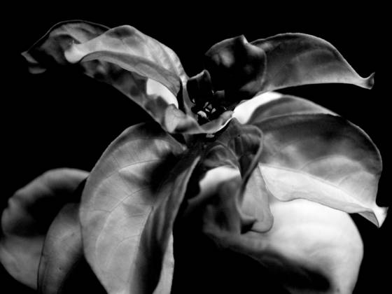 Drake s flower