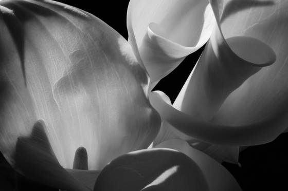 Calla lilies in afternoon sunlight