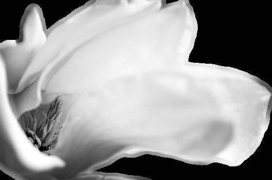 Magnolia for imogen