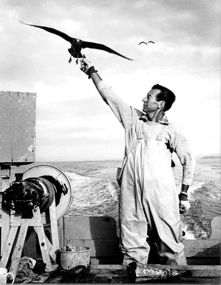 Doryman   gull