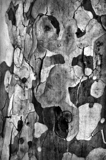 Shedding bark 10