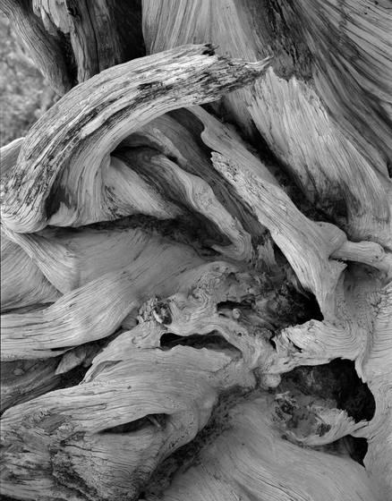 Bristlecone burl
