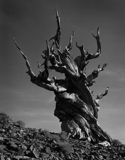 Bristlecone afternoon