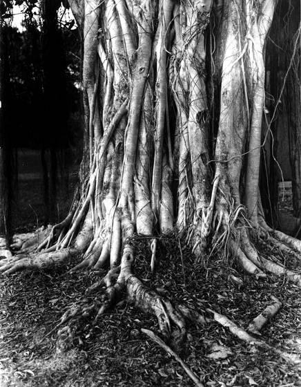 Banayn tree