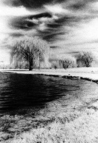 Willows weeping