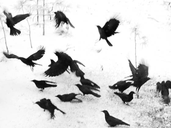 Crows in transition