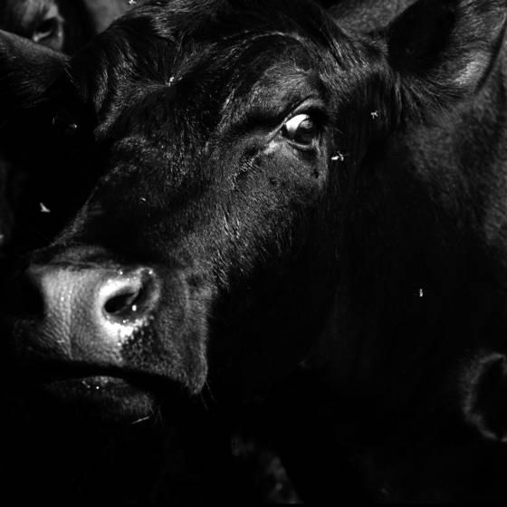 Tormented bull