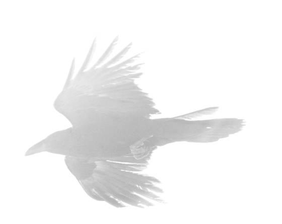 Ghost raven