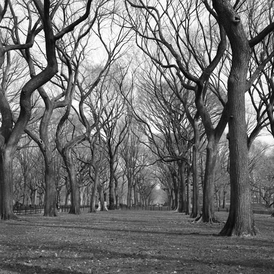 Elms of central park