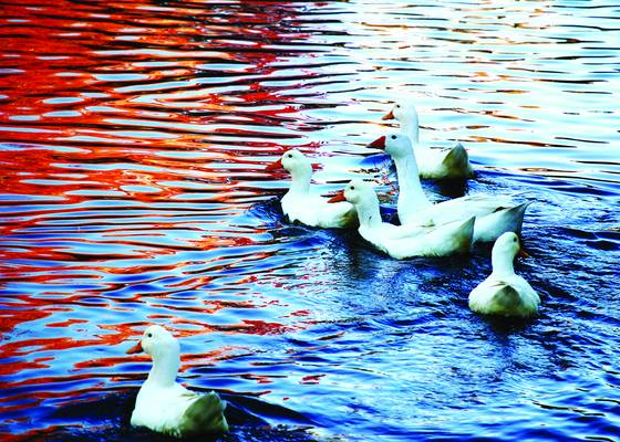 Ducks at dawn reflected