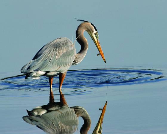 Blue heron 6