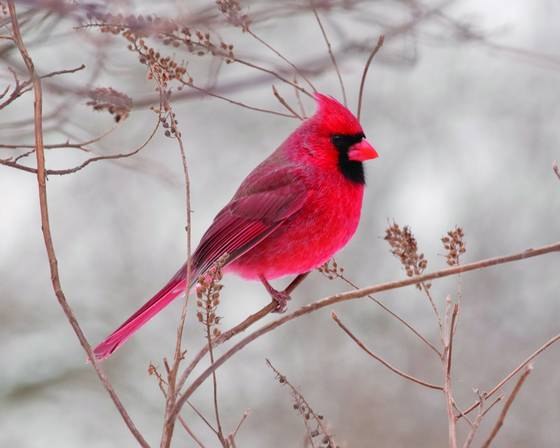 Cardinal 4629
