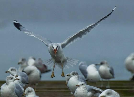 Gulls 90