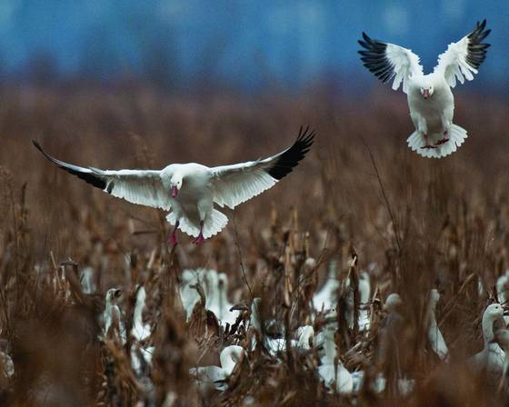 Snow geese 4154