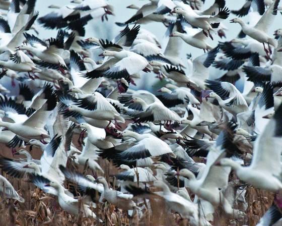 Snow geese 4222