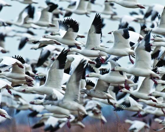 Snow geese 4225