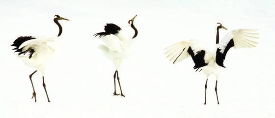 Crane dance i