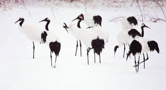 Cranes in snow