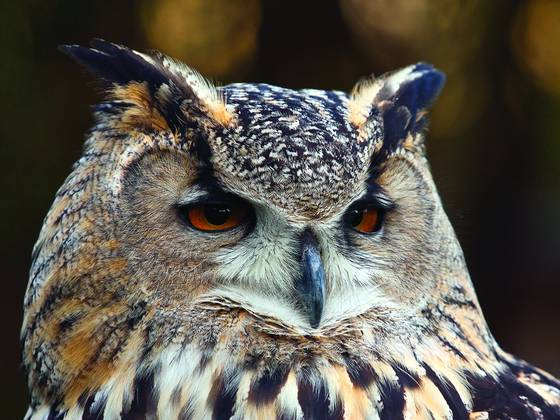 Euro asiatic eagle owl