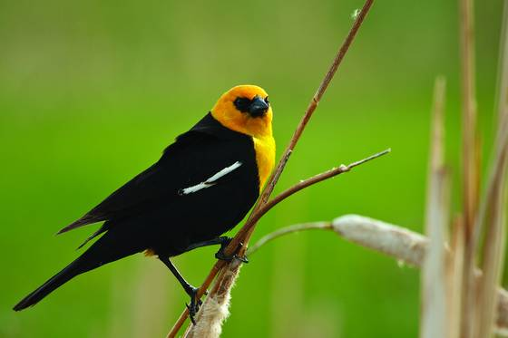 Yellow headed black bird