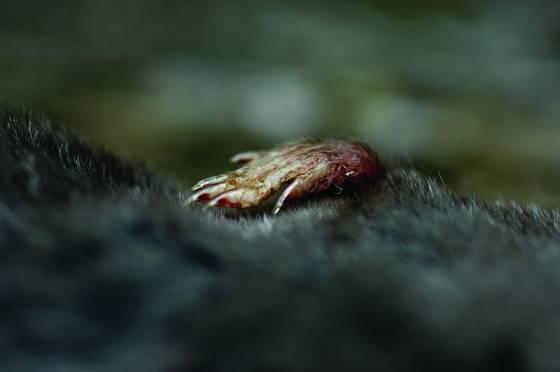 Vole claw